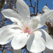magnolia merill