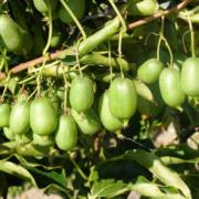 aktinidia kiwi issai