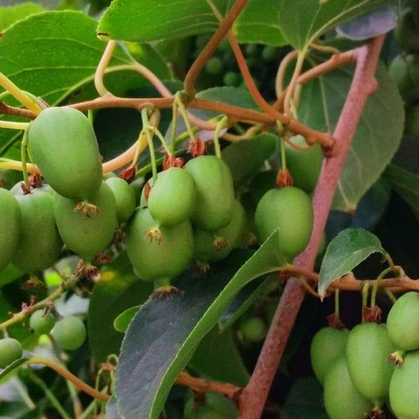 aktinidia ostrolistna issai samopylna mini kiwi smaczne owoce. Black Bedroom Furniture Sets. Home Design Ideas