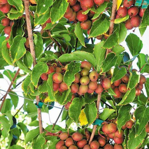 aktinidia kiwi purpurna sadowa 1
