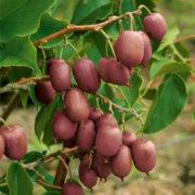 aktinidia kiwi purpurna sadowa