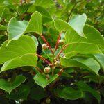 aktinidia kiwi weiki zapylacz 2