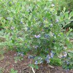 borówka bluecrop 1