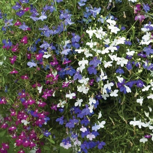 lobelia mix