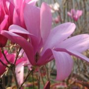 magnolia drzewiasta blue opal don c5 niebieskie kwiaty. Black Bedroom Furniture Sets. Home Design Ideas