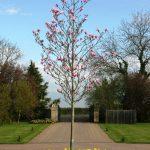 magnolia galaxy1