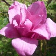 magnolia vulcan2