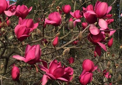magnolia vulcan3