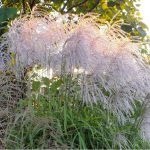 miscanthus memory