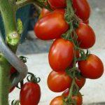 pomidor tutti frutti