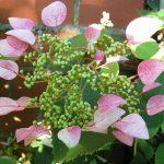 przywarka różowa