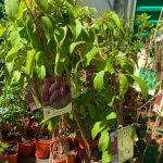 purpurowa sadz