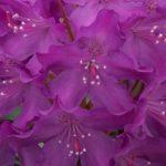 rhododendron bolesław chrobry1