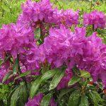 rhododendron bolesław chrobry2