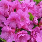rhododendron geisha purple1