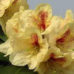 rhododendron goldbukett1