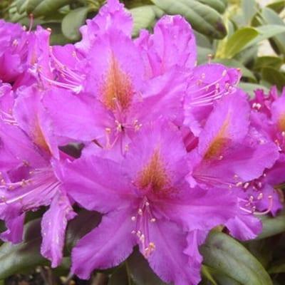 rhododendron libretto1