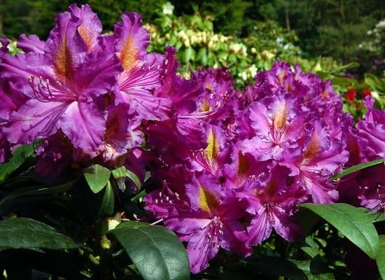 rhododendron libretto2