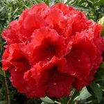 rhododendron red jack1