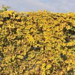 winobluszcz yellow wall 1