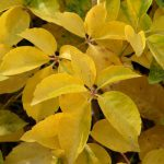 winobluszcz yellow wall