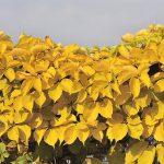 winobluszcz yellow wall 2