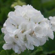 Pelargonia rabatowa biała