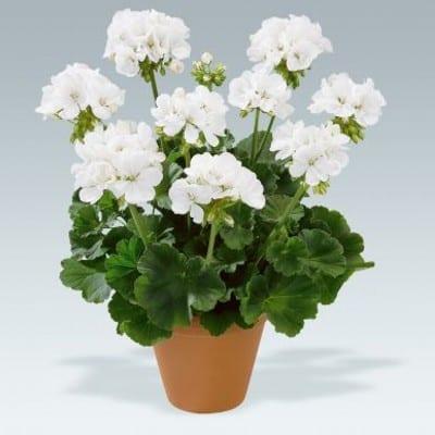 Pelargonia rabatowa biała 2
