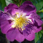Róża Veilchenblau