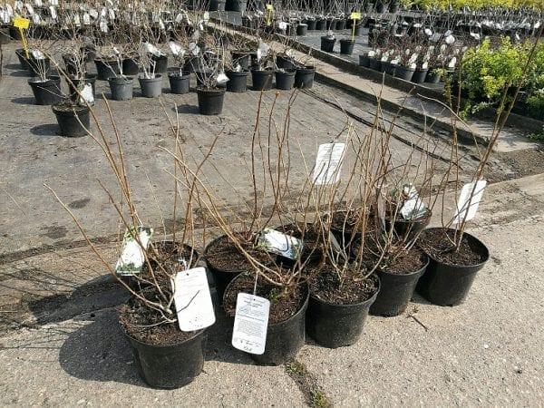 hortensja grandiflora sadzonka