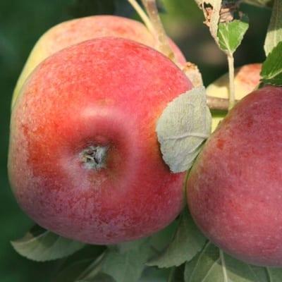 jabłoń delikates