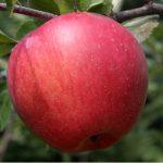 jabłoń jonagold