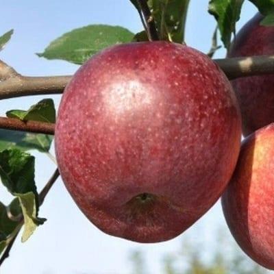 jabłoń malinowa oberlandzka