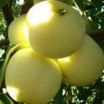 jabłoń oliwka żółta