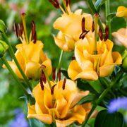 lilia apricot fudge 1