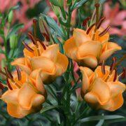 lilia apricot fudge
