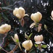 magnolia honey tulip1