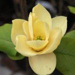 magnolia honey tulip2