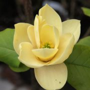 magnolia honey tulip2