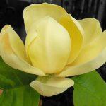 magnolia honey tulip3
