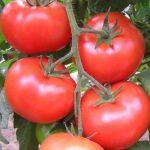 pomidor promyk