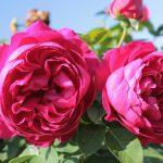 róża ascot