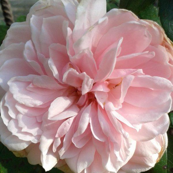 róża cinderella 1