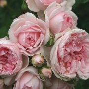 róża cinderella