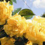 róża dukat