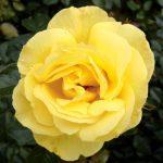 róża dukat 2