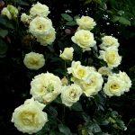 róża elfe 1