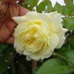 róża elfe 2