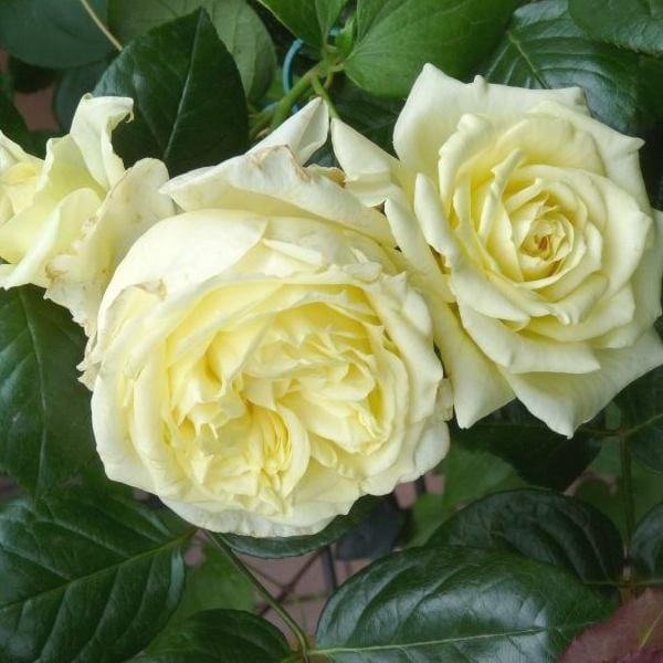 róża elfe 3