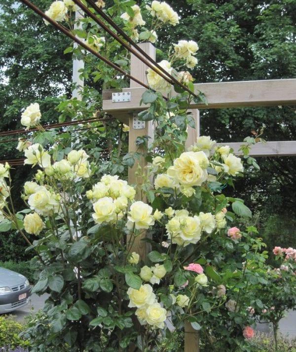 róża elfe 4